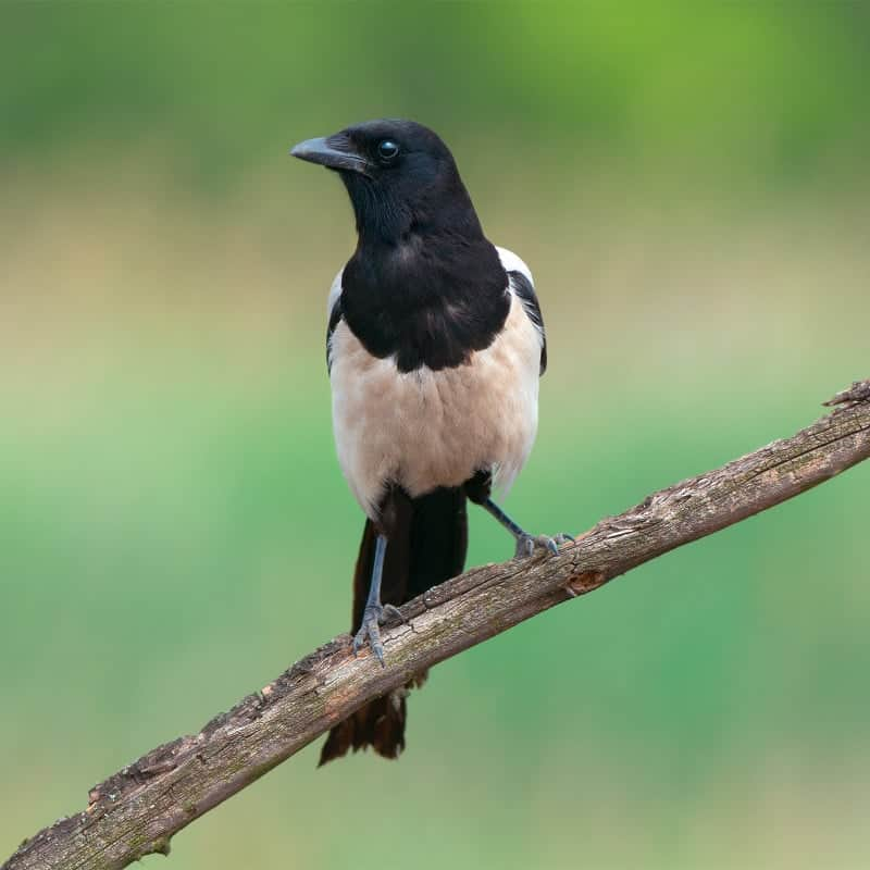 how to keep magpies away from house