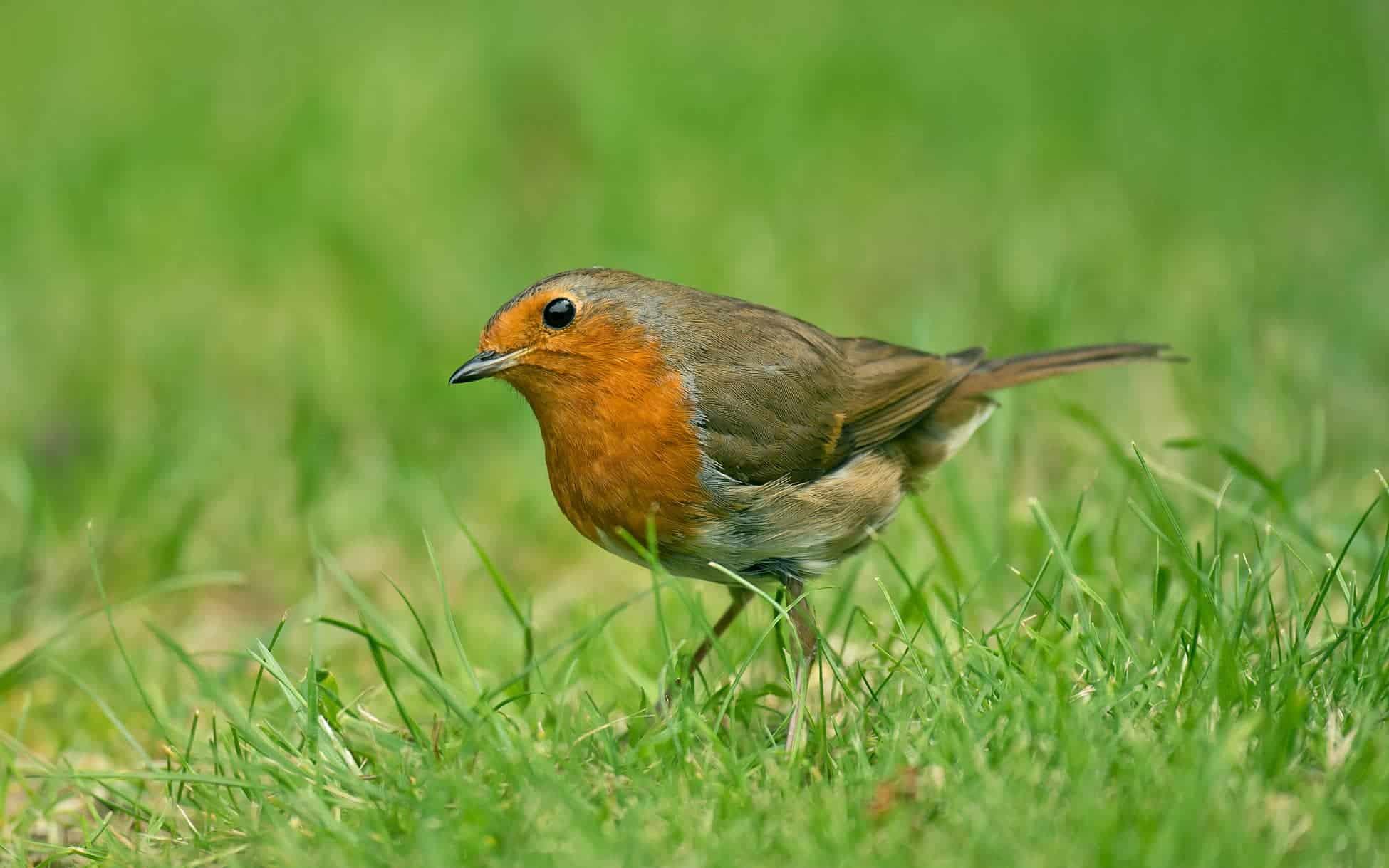 3.Robin adult-min