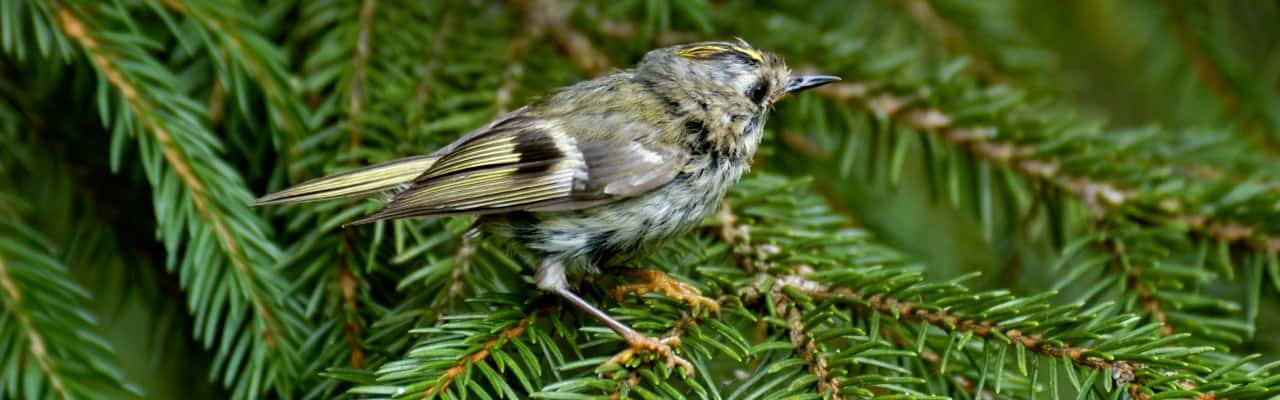 moulting-goldcrest