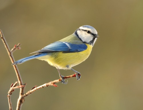 BBC Springwatch 2016: Blue Tits and Great Tits