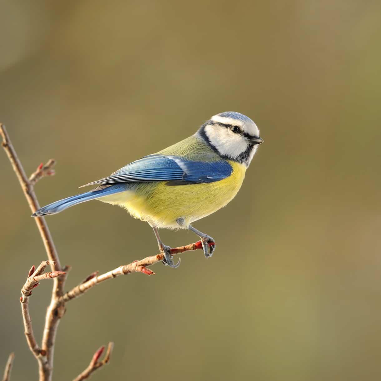 Blue Tit on branch