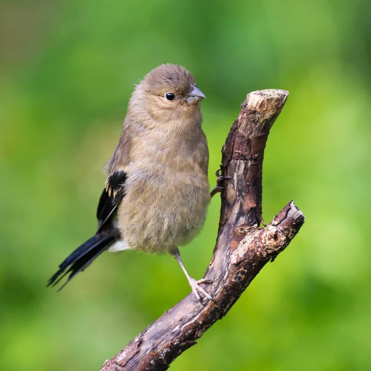 Fledgling Bullfinch