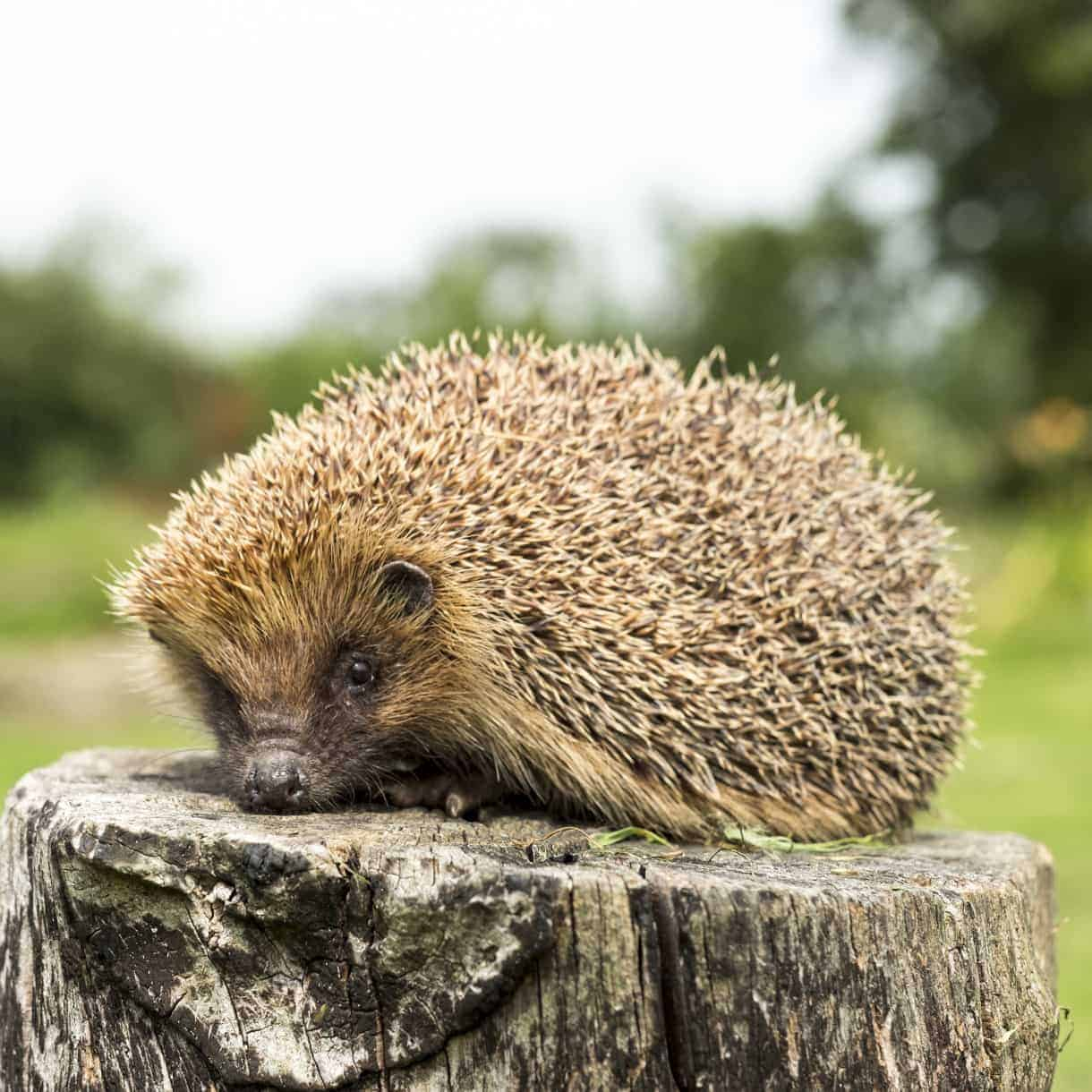 Hedgehogs_2