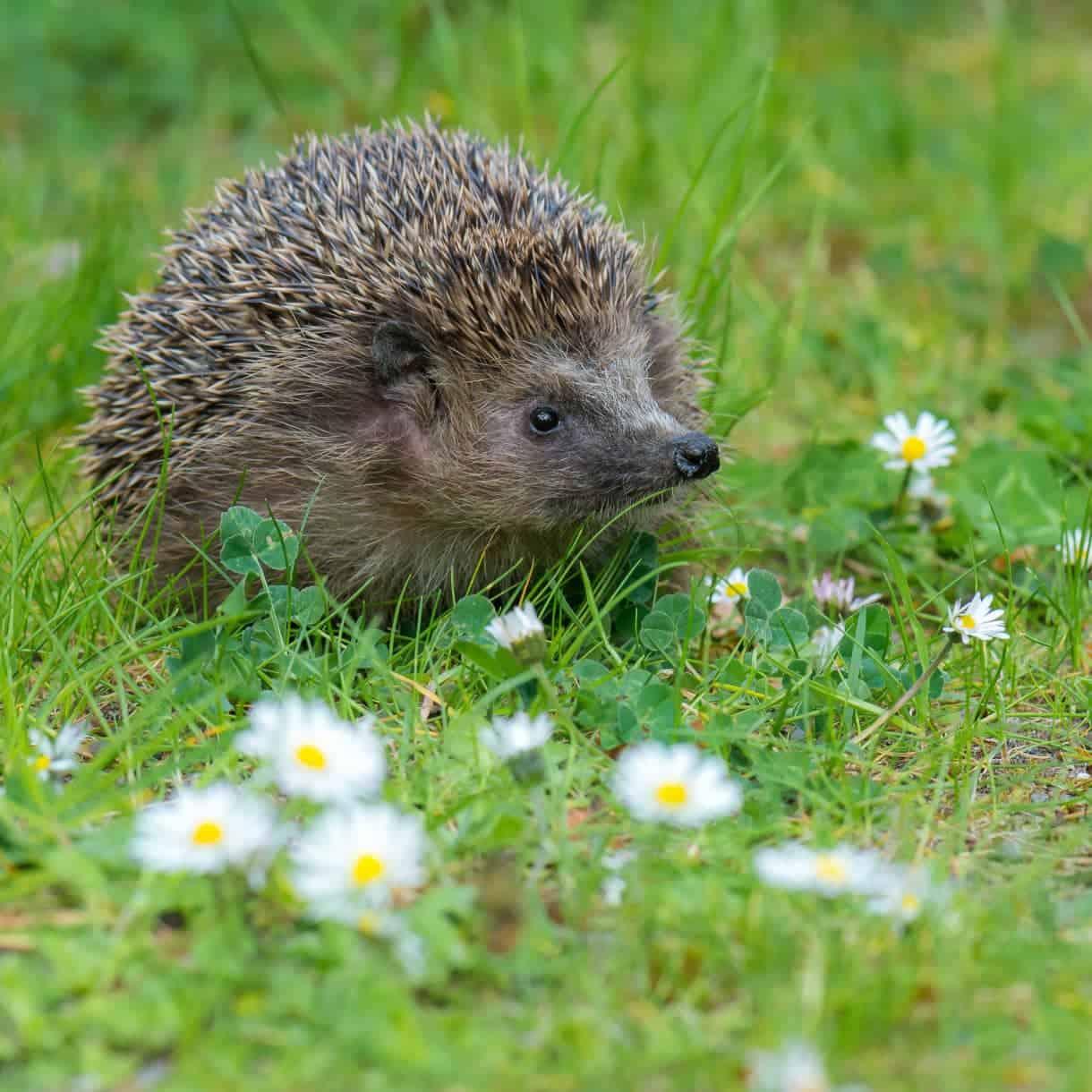 Helping hedgehogs prepare for hibernation-min