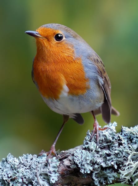 Robin: the bird that would be King - GardenBird