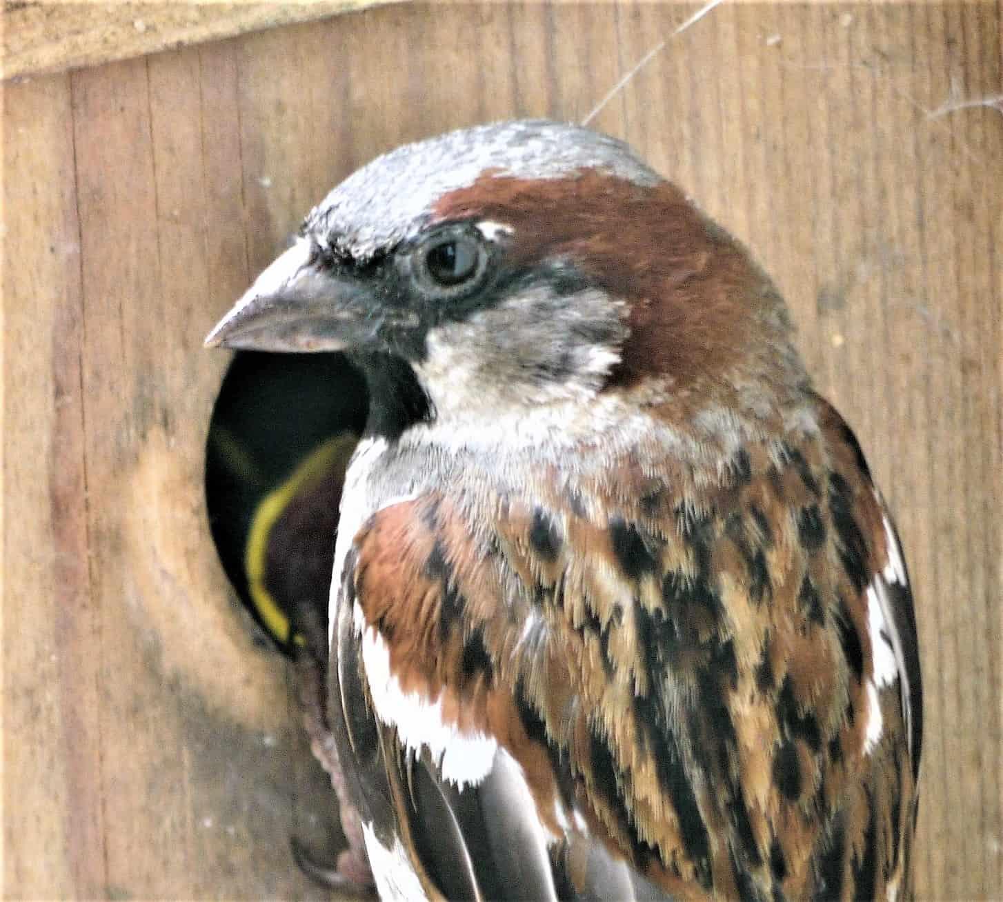 All about the House sparrow - GardenBird
