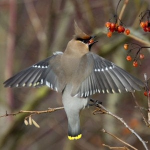 Waxwing eating berries in flight