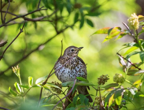 All about the Song thrush