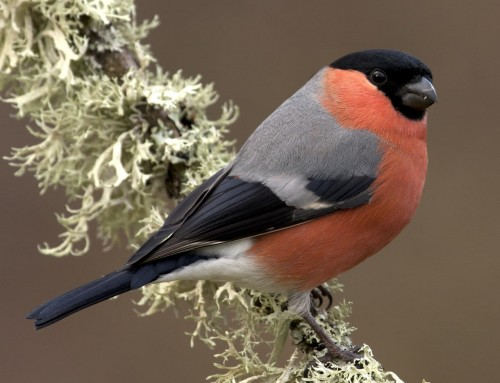 All about the Bullfinch