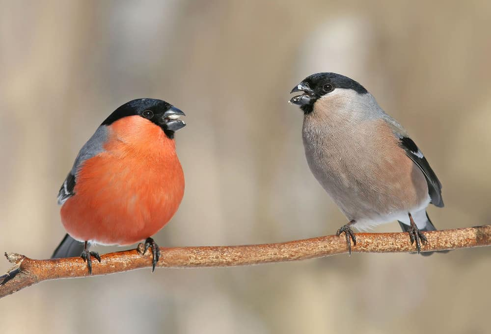 Male and Female Bullfinches