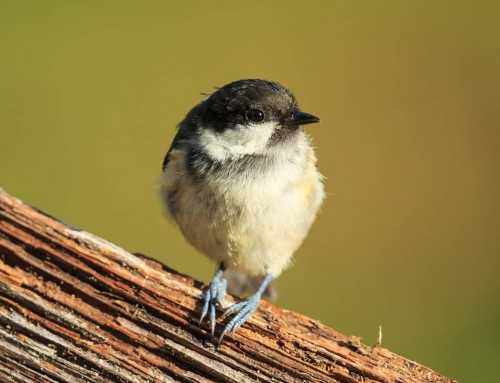 All about the Coal tit