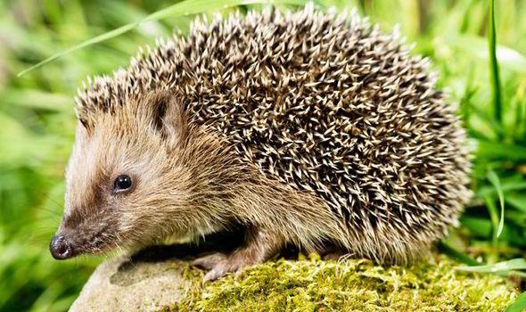 RSPCA Hedgehog
