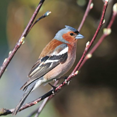 all_about_the_chaffinch-min