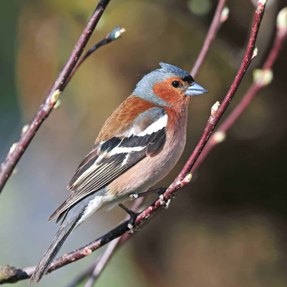 Image result for the chaffinch