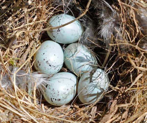 Bullfinch eggs