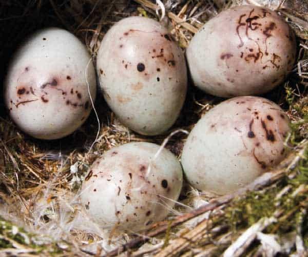 Chaffinch eggs