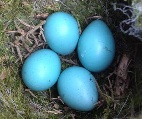 Dunnock eggs
