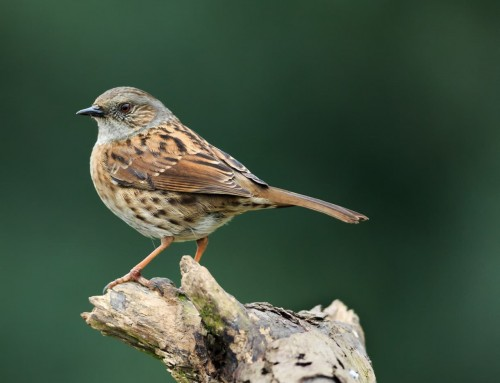 All about the Dunnock