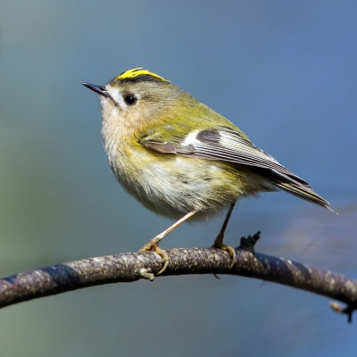 Goldcrest - feature
