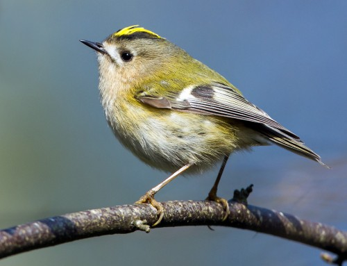 All about the Goldcrest