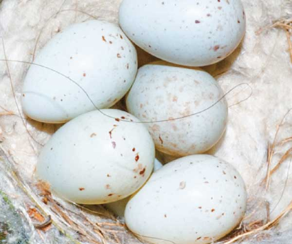 Goldfinch eggs
