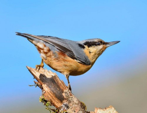 All about the Nuthatch