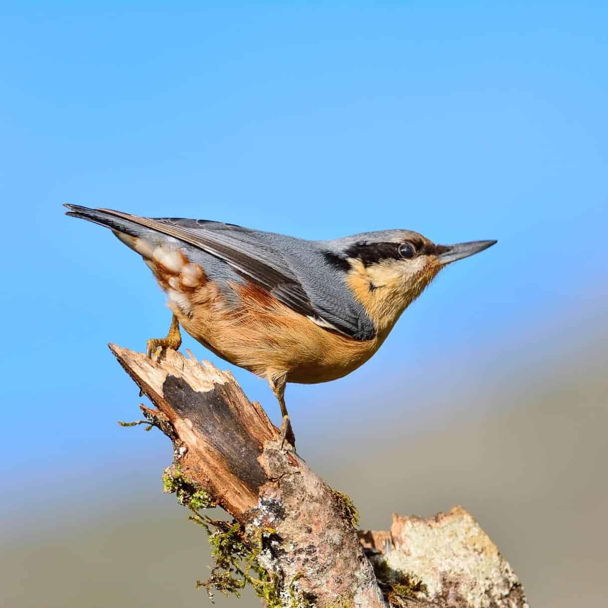 All About The Nuthatch Gardenbird