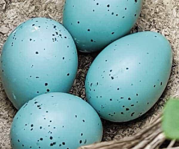 Song thrush eggs