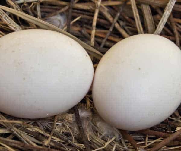 Woodpigeon eggs