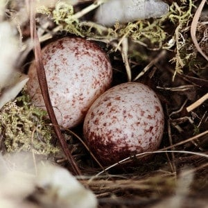 Wren eggs in nest