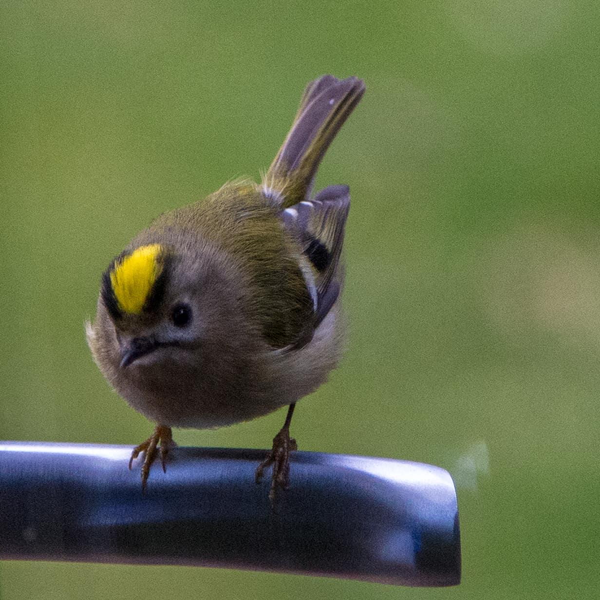 All about the Goldcrest - GardenBird