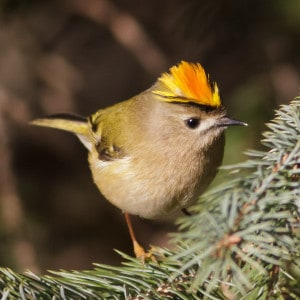 Male Goldcrest with protruding crown