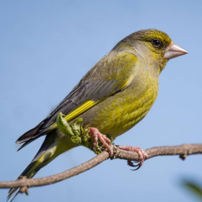 Greenfinch_featured