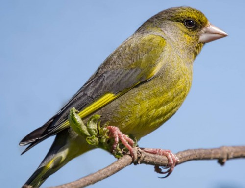 All about the Greenfinch