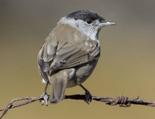 All about the Blackcap