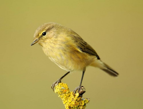 All about the ChiffChaff