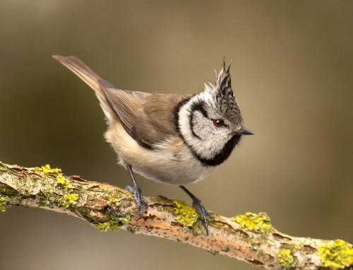 All about the Crested tit