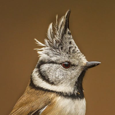 The tuft and crown of a Crested tit