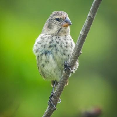 Galapagos Vegetarian Finch-min