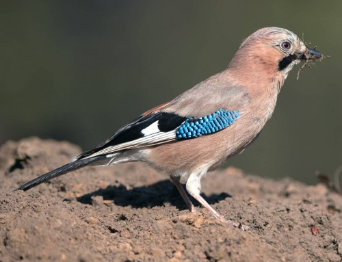 All about the Jay