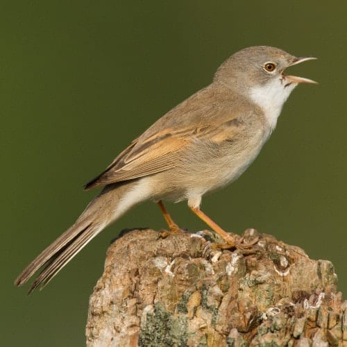 Common whitethroat - Sylvia communis