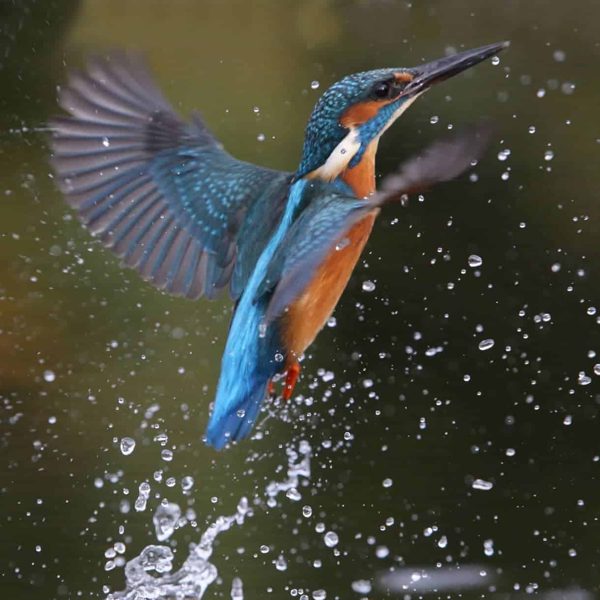 All About The Kingfisher Gardenbird