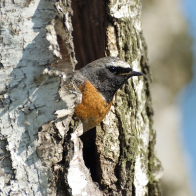 Male Common Redstart (Phoenicurus phoenicurus) seeking for the nestling hollow in spring. Moscow region, Russia