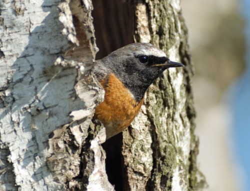 All about the Redstart