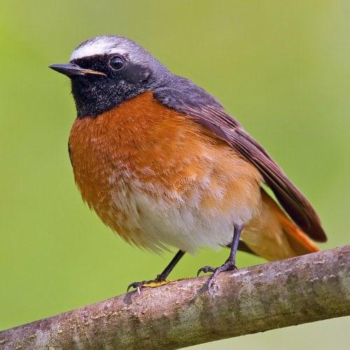 Redstart - Phoenicurus phoenicurus