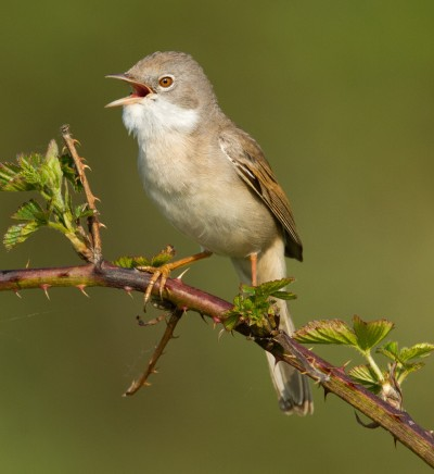 Whitethroat-feature_2