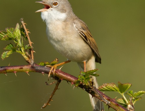 All about the whitethroat