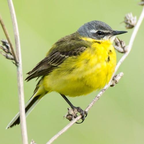 Yellow wagtail - Motacilla flava