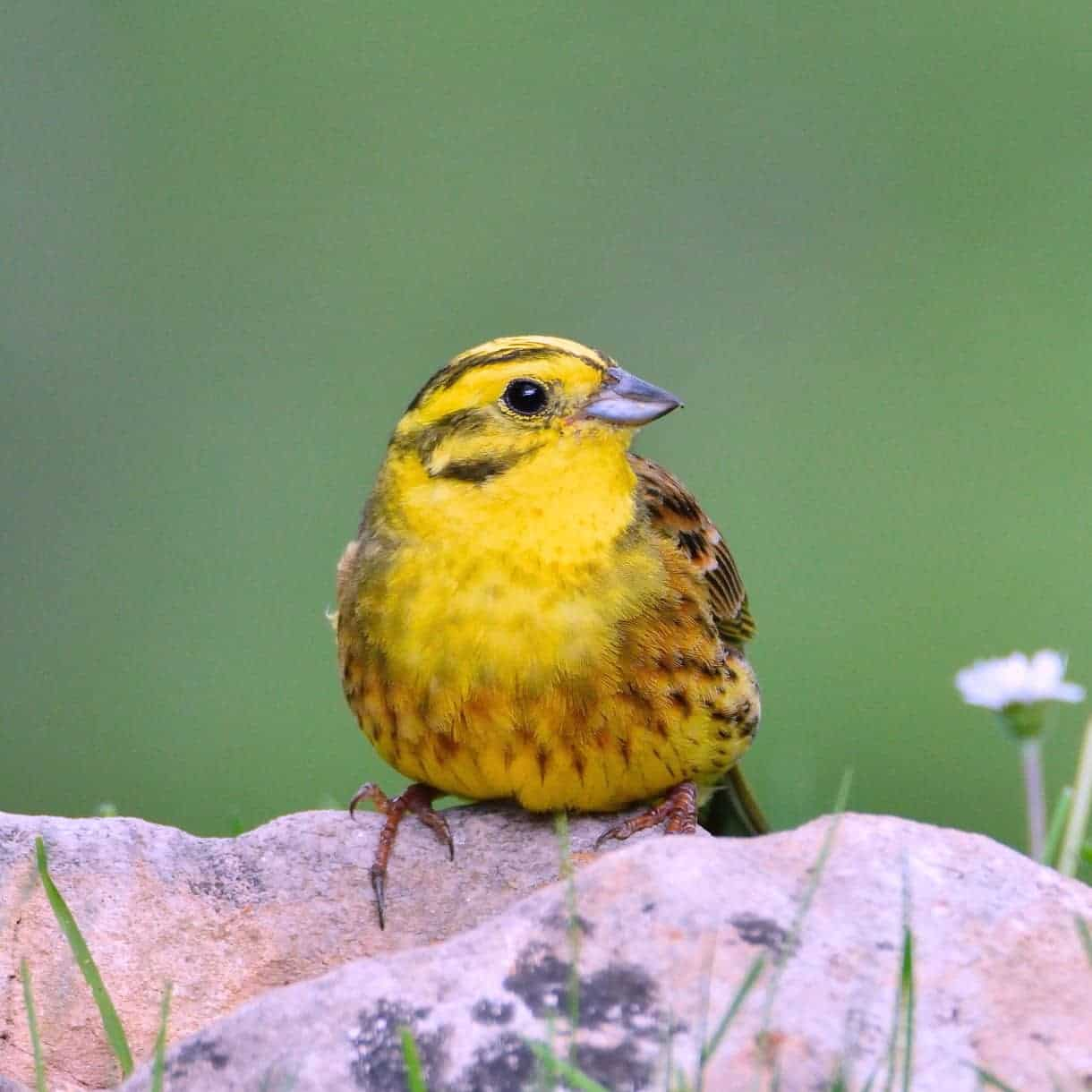 Yellowhammer In A First Snow Wallpaper HD Download