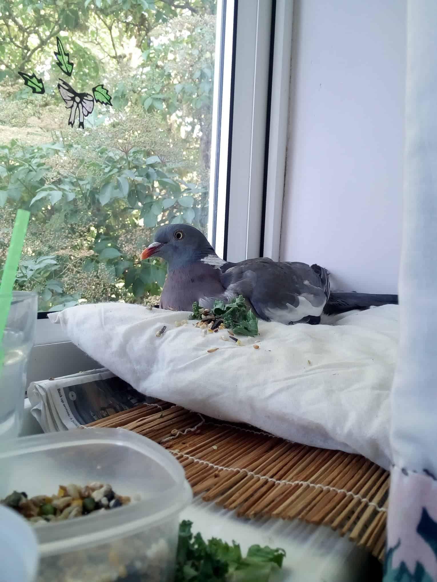 All about the Wood pigeon - GardenBird
